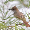 Brown-crested Flycatcher, Sweetwater Wetlands, Tucson, AZ, 22-Aug-2013