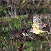 Cassin's Kingbird flying in front of Black Phoebe, Paicines Reservoir