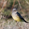 Cassin's Kingbird at Paicines Reservoir