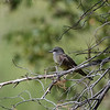 Cassin's Kingbird at Rio Rico