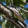 Cassin's Kingbird at Rio Rico