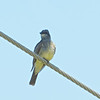Cassin's Kingbird, Kino Springs, AZ, 24-Aug-2013