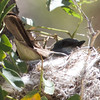 Cassin's Kingbird on Nest, Paul's Place, Kern County, CA, 17-June-2014