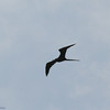 Magnificent Frigatebird Silhouette