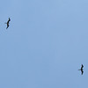 Magnificent Frigatebirds Overhead