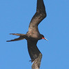 Magnificent Frigatebird, Los Islotes, Sea of Cortez, Mexico, 30-Dec-2007