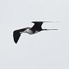 Magnificent Frigatebird (juvenile)