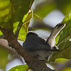 Definitely a Gnatcatcher!  Tropical Gnatcatcher - tail detail