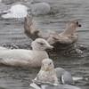 Glaucous Gull with other Gulls, Pilarcitos Creek Mouth, San Mateo County, 11-Jan-2014