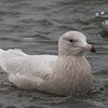 Glaucous Gull, Pilarcitos Creek Mouth, San Mateo County, 11-Jan-2014