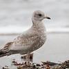 First Winter Mew Gull, Pillar Point Harbor, San Mateo County, 11-Jan-2014