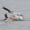 Mew Gull Bathing, Pillar Point Harbor, San Mateo County, 11-Jan-2014