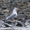 Mew Gull, Prince William Sound