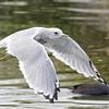 Mew Gull (Nonbreeding Adult)