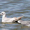 Mew Gull and California Gull, Palo Alto Baylands Duck Pond