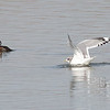 Mew Gull, Sunnyvale WPCP and Bay Trail, Santa Clara County, CA, 27-Nov-2013