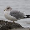 Mew Gull, Pillar Point Harbor, San Mateo County, 11-Jan-2014
