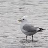 Mew Gull, Alaganik Slough