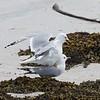 Common (Mew) Gulls