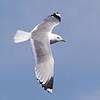 Common (Mew) Gull (Larus canus)