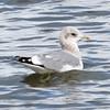 Mew Gull, Sunnyvale WPCP, Santa Clara County, CA, 21-Nov-2013