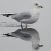 Ring-billed Gull Reflection