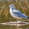 Ring-billed Gull Standing on Dead Carp