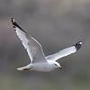 Ring-billed Gull (adult breeding)