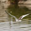 Sabine's Gull (juvenile)