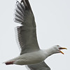 Western Gull, Jetty Road, Monterey County, 11-Sept-2013
