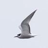 Aleutian Tern, Prince William Sound.  A life bird for me.