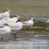Sandwich Tern with the Royal Terns