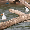 Royal Tern (left) and Sandwich Tern (right)