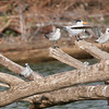 Terns and Gulls on a Log