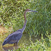 "Goliath Heron - the largest heron in the world with a height of 60"".  Our Great Blue Heron is 46"""