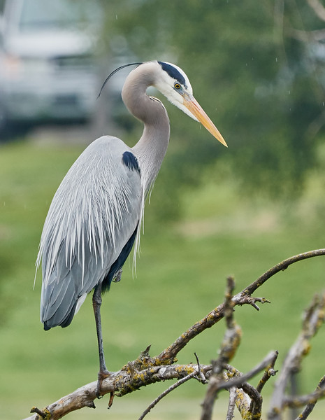 Great Blue Heron Sitting on a Branch in the Rain