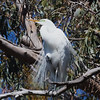 Great Egret Near Its Nest