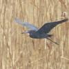 Little Blue Heron (Egret caerulea)