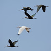 White and White-faced Ibis in Flight