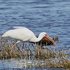 White Ibis with White-faced Ibis