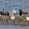 A Group of White and White-faced Ibis