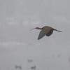 White-faced Ibis Flying Through the Fog