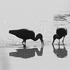 White-faced Ibis Silhouettes