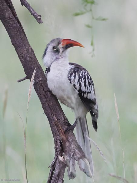 Tanzanian Red-billed Hornbill