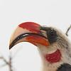 Von der Decken's Hornbill