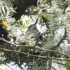 Female Allen's Hummingbird on Nest, Arastradero Preserve, 2-April-2013