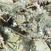 Allen's Hummingbird on Nest, Arastradero Preserve, 19-March-2013