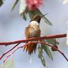 Allen's Hummingbird, Dog Park Area, Ed Levin County Park, Santa Clara County, CA, 7-Mar-2014
