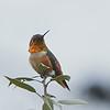 Allen's Hummiingbird (male)