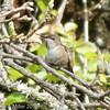 Allen's Hummingbird on twig near Nest, Arastradero Preserve, 19-March-2013